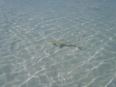 Lemon Shark, Australia - 2012
